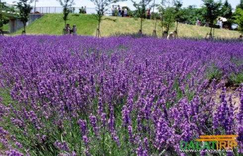 Saigonese create lavender paradise in Da Lat